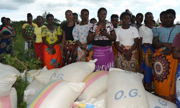 Mais gegen den Hunger in Malawi